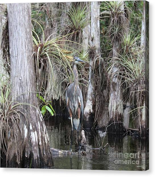 Great Cypress Canvas Print - Camouflaged Heron In Cypress Swamp by Carol Groenen