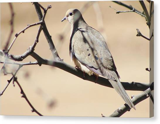 Camouflaged Mourning Dove Canvas Print