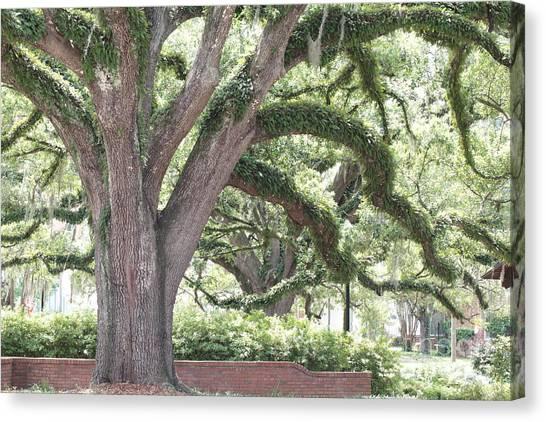 Florida State Fsu Canvas Print - Campus Tree by Carol Groenen