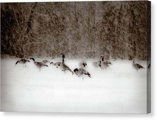 Canada Geese Feeding In Winter Canvas Print