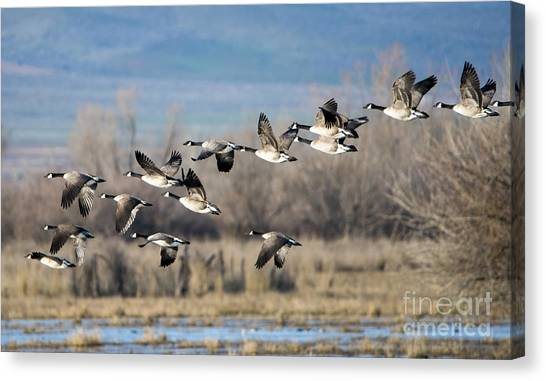 Geese Canvas Print - Canada  Geese Flock by Mike Dawson