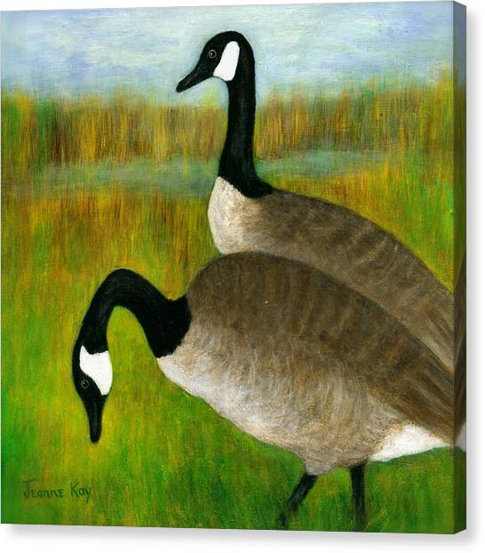 Canada Geese Grazing  Canvas Print