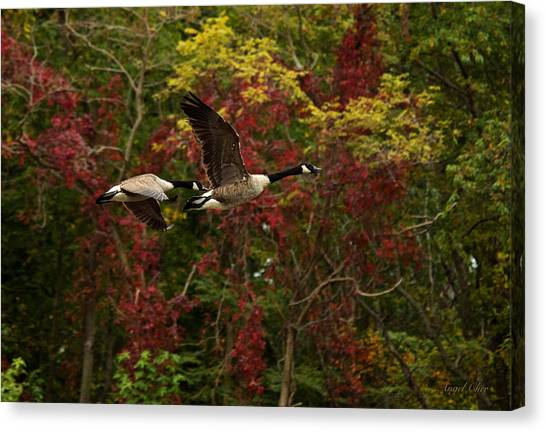 Canvas Print featuring the photograph Canada Geese In Autumn by Angel Cher