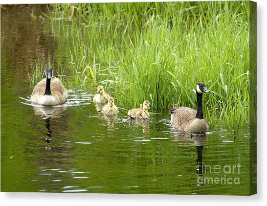 Canada Goose Family 2 Canvas Print by Sharon Talson