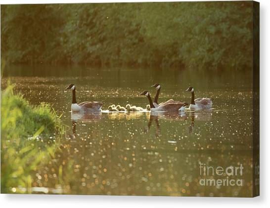 Canvas Print featuring the photograph Canada Goose Geese Family - Branta Canadensis - With Goslings On A by Paul Farnfield