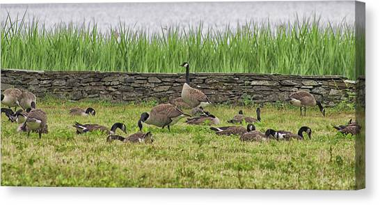 Canada Goose Canvas Print - Canadian Geese by Martin Newman