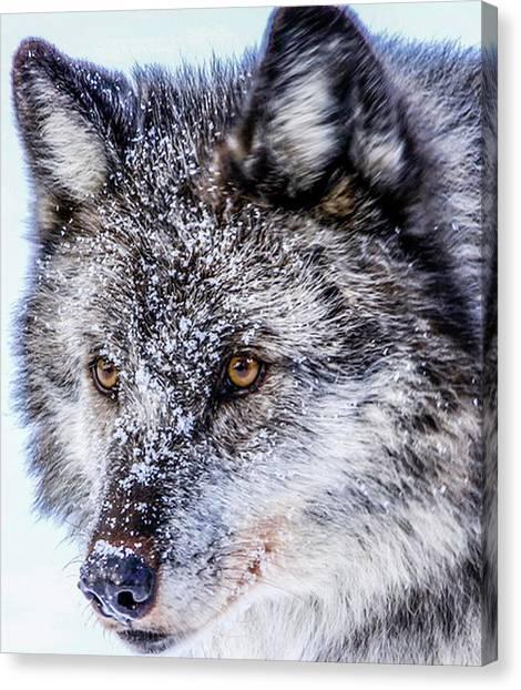 Canadian Grey Wolf In Portrait, British Columbia, Canada Canvas Print