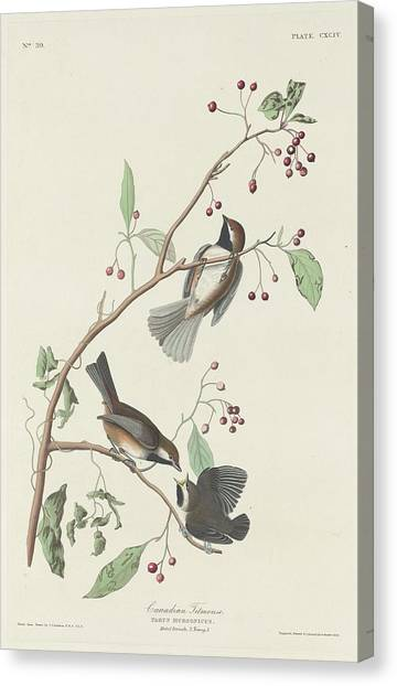 Titmice Canvas Print - Canadian Titmouse by Dreyer Wildlife Print Collections