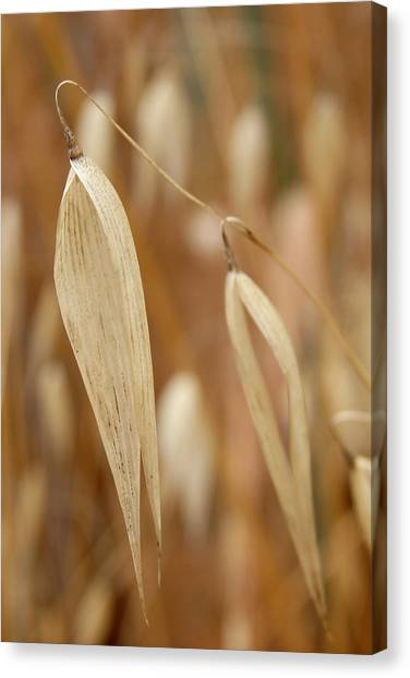 Canarian Oat - Closeup Of Dry Avena Canariensis Canvas Print