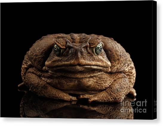 Reptile Canvas Print - Cane Toad - Bufo Marinus, Giant Neotropical Or Marine Toad Isolated On Black Background, Front View by Sergey Taran