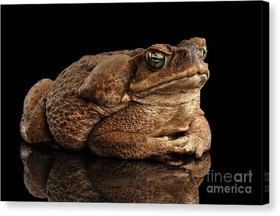 Reptiles Canvas Print -  Cane Toad - Bufo Marinus, Giant Neotropical Or Marine Toad Isolated On Black Background by Sergey Taran