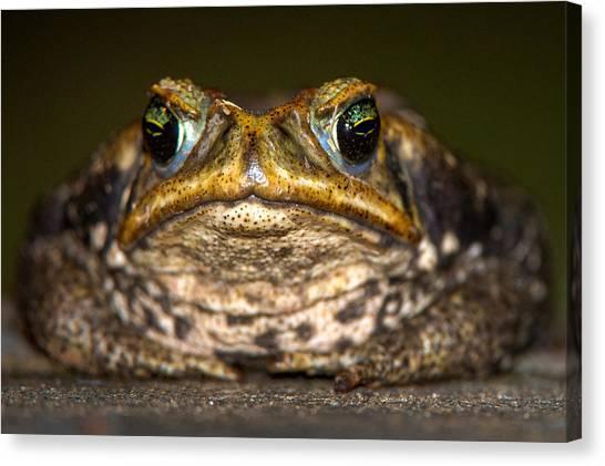 Wetlands Canvas Print - Cane Toad Rhinella Marina, Pantanal by Panoramic Images