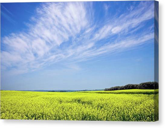 Canola Blue Canvas Print