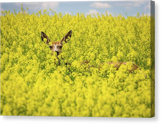 Canola Deer Canvas Print