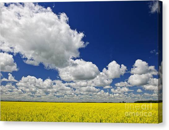 Manitoba Canvas Print - Canola Field by Elena Elisseeva