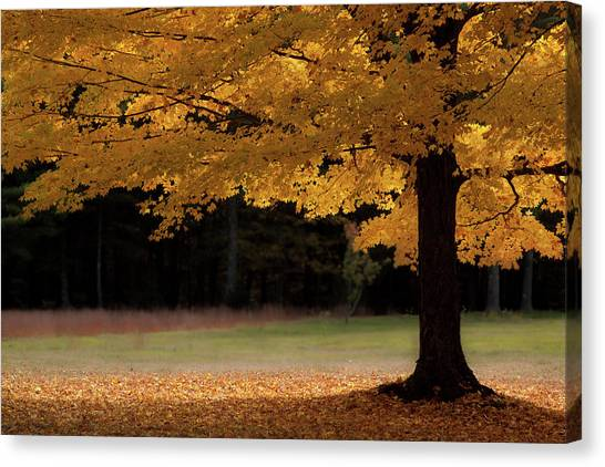 Canopy Of Autumn Gold Canvas Print