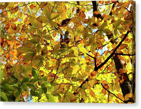 Canvas Print featuring the photograph Canopy Of Autumn Leaves  by Angie Tirado