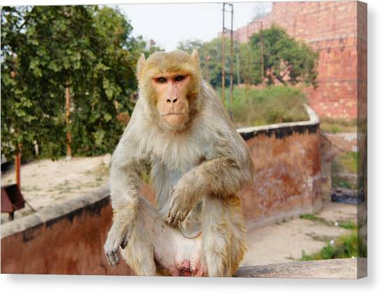 Cantankerous Canvas Print - Cantankerous Monkey by Adam Lincoln