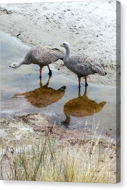 Cape Baron Geese On Maria Island 2 Canvas Print