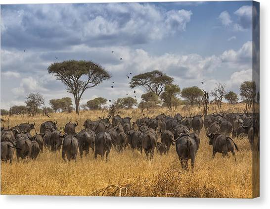 Cape Buffalo Herd Canvas Print