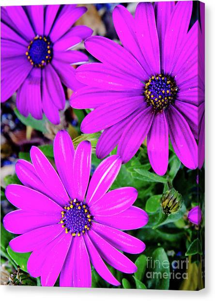 Andy Bloom Canvas Print - Cape Daisies Purple Osteospermum Garden Flowers In Bloom by Andy Smy