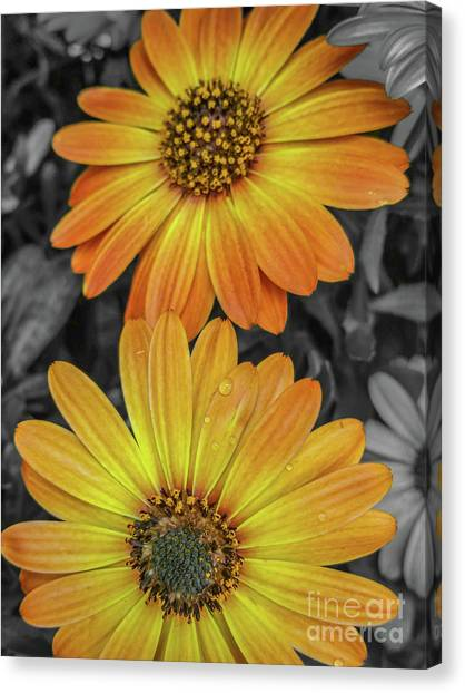 Cape Daisy's - Orange Canvas Print