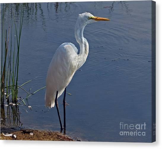 Cape May Egret Canvas Print