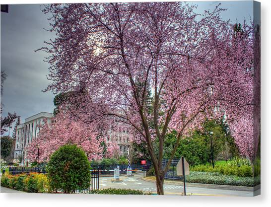Capitol Tree Canvas Print by Randy Wehner Photography