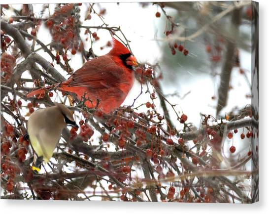 Canvas Print featuring the photograph Cardinal And Cedar Wax Wing Feeding On Crab Apples by Betty Pauwels
