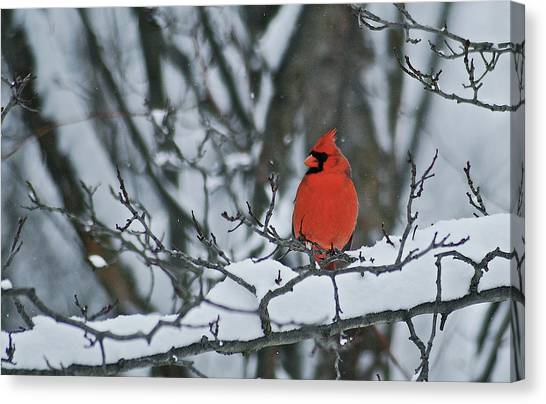 Cardinals Canvas Print - Cardinal And Snow by Michael Peychich