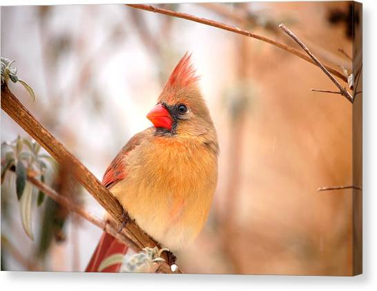 Cardinal Bird Female Canvas Print