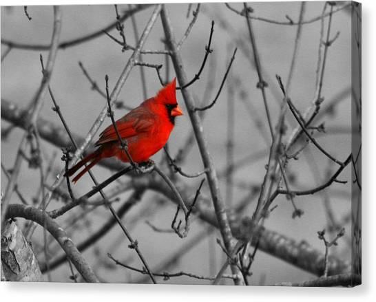 Cardinal Colorized Canvas Print by David Dunham