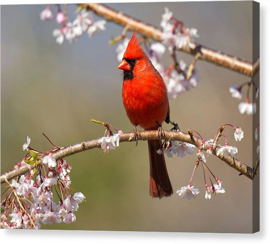 Canvas Print featuring the photograph Cardinal In Cherry by Angel Cher