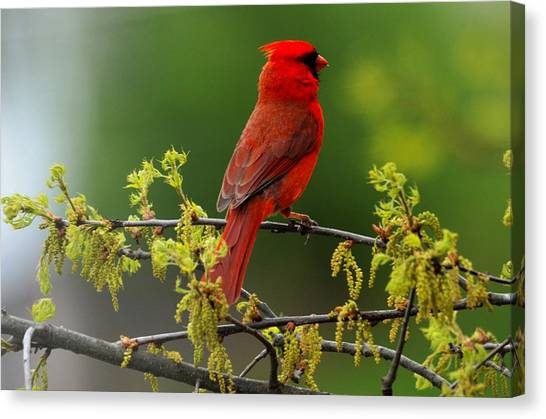 Cardinal In Early Spring Canvas Print
