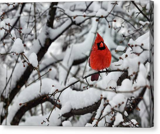 Cardinal In The Snow 2 Canvas Print