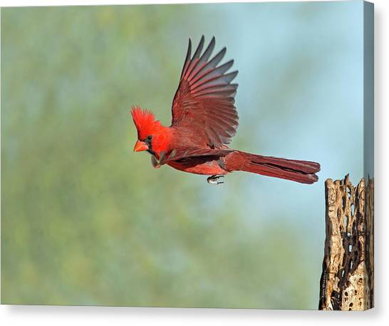 Cardinal On A Mission Canvas Print