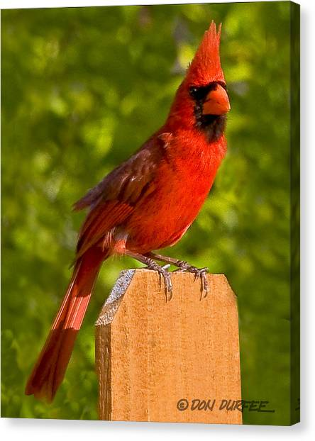 Canvas Print - Cardinal On Fence by Don Durfee