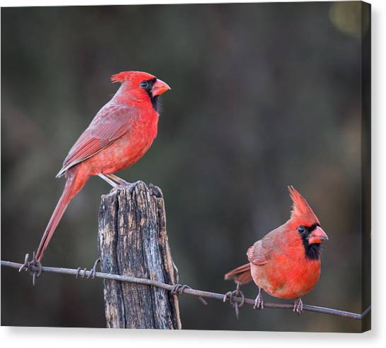 Image result for cardinal on a barbed wire fence