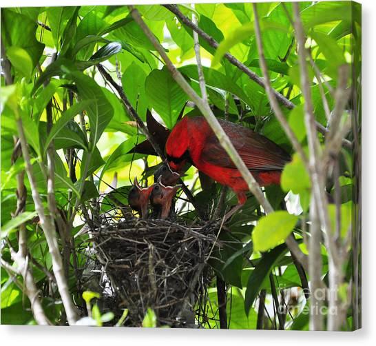 Cardinals Chowtime Canvas Print