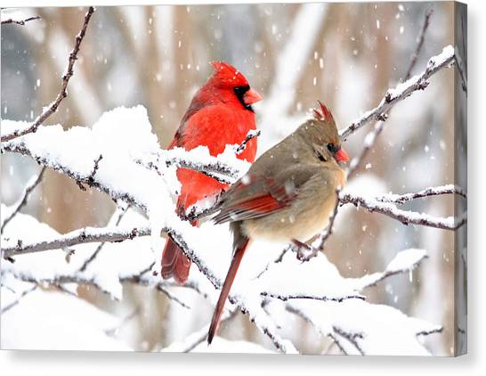 Cardinals In The Winter Canvas Print