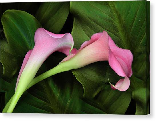 Calla Canvas Print - Caress by Jessica Jenney