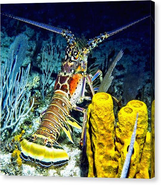 Caribbean Reef Lobster Canvas Print