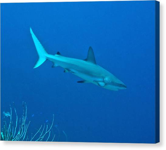 Black Tip Sharks Canvas Print - Caribbean Reef Shark On A Coral Reef by Amy McDaniel