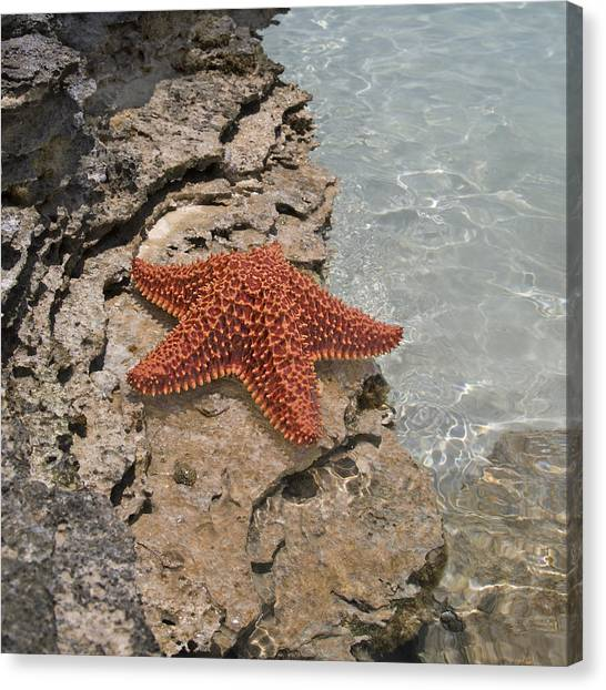 Carribbean Canvas Print - Caribbean Starfish by Betsy Knapp