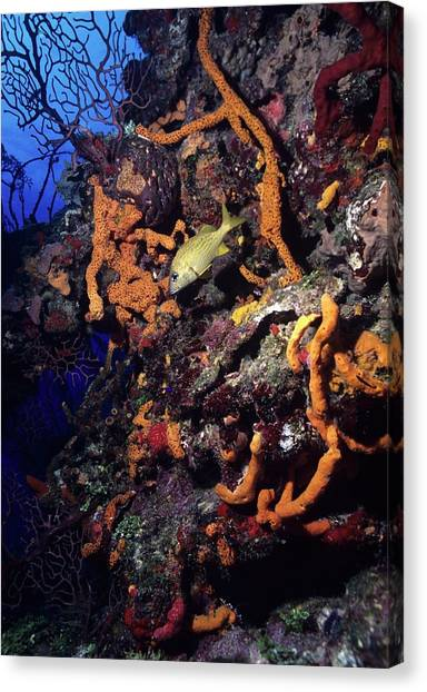 Caribbean Wall Dive Canvas Print