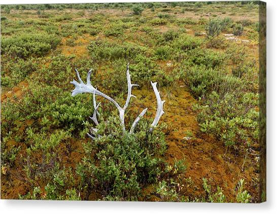 Canvas Print featuring the photograph Caribou Horns by Fred Denner