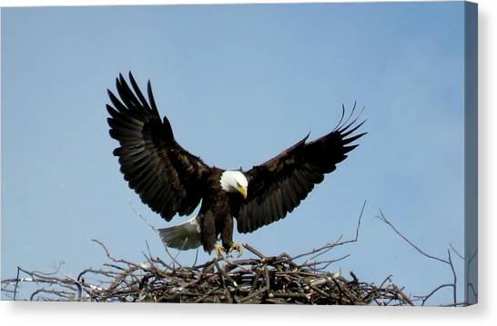 Cape Vincent Eagle Canvas Print