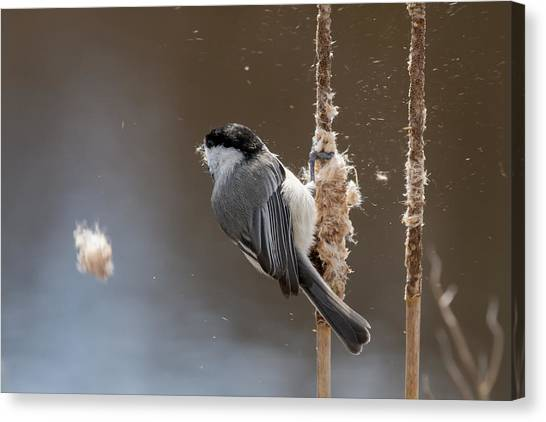 Carolina Chickadee Feeding On Cattail Canvas Print