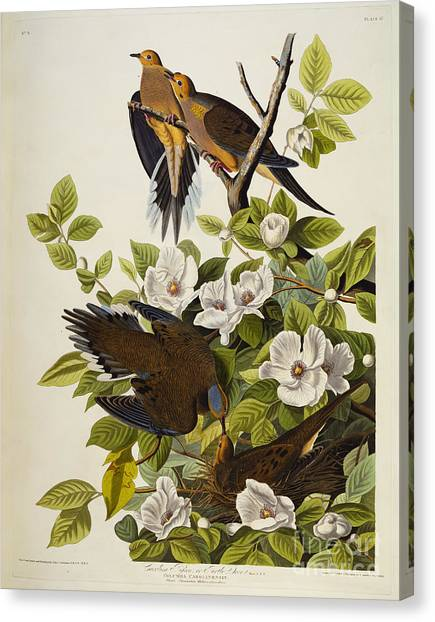 Dove Canvas Print - Carolina Turtledove by John James Audubon