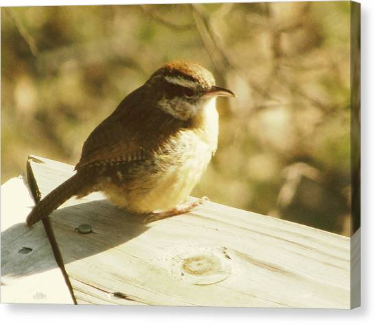 Wrens Canvas Print - Carolina Wren by Amy Tyler